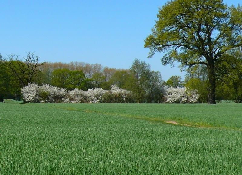 Schlehenblüte im April