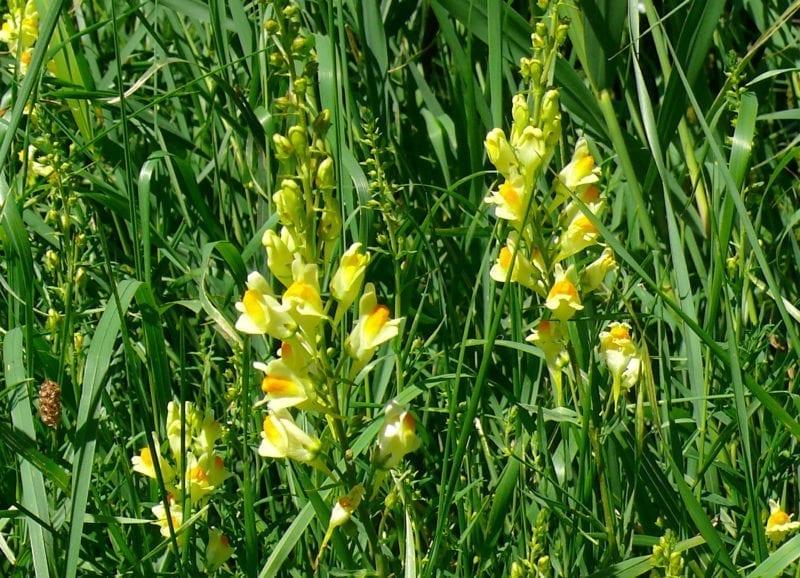 August, Gemeines Leinkraut, Linaria vulgaris