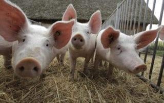 Hof Eggers Biohof Hamburg - Bio-Schweine